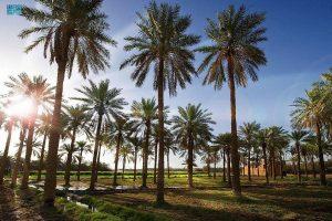 سعودی عرب کھجور کی کاشت اور پیداوار کے حوالے سے دنیا کا دوسرا بڑا ملک بن گیا